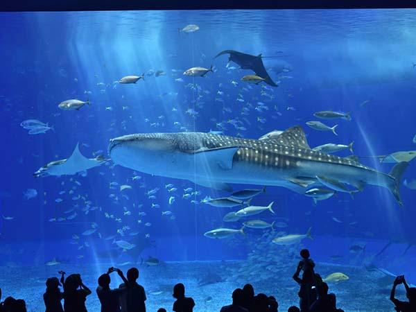 沖縄美ら海水族館(海洋博公園内) ホテルから車で約5分。