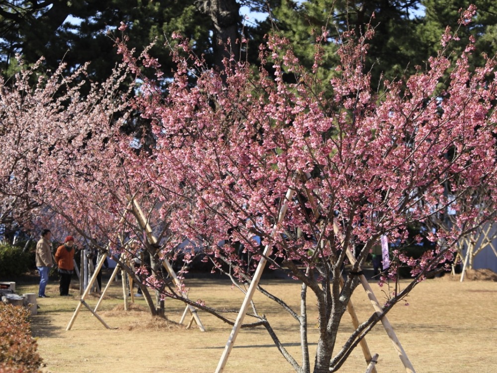 日本で最も早く咲く土肥桜