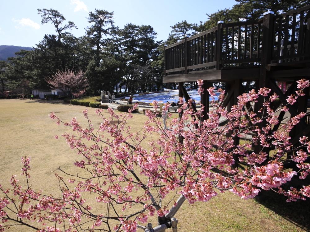 【周辺観光】松原公園と土肥桜