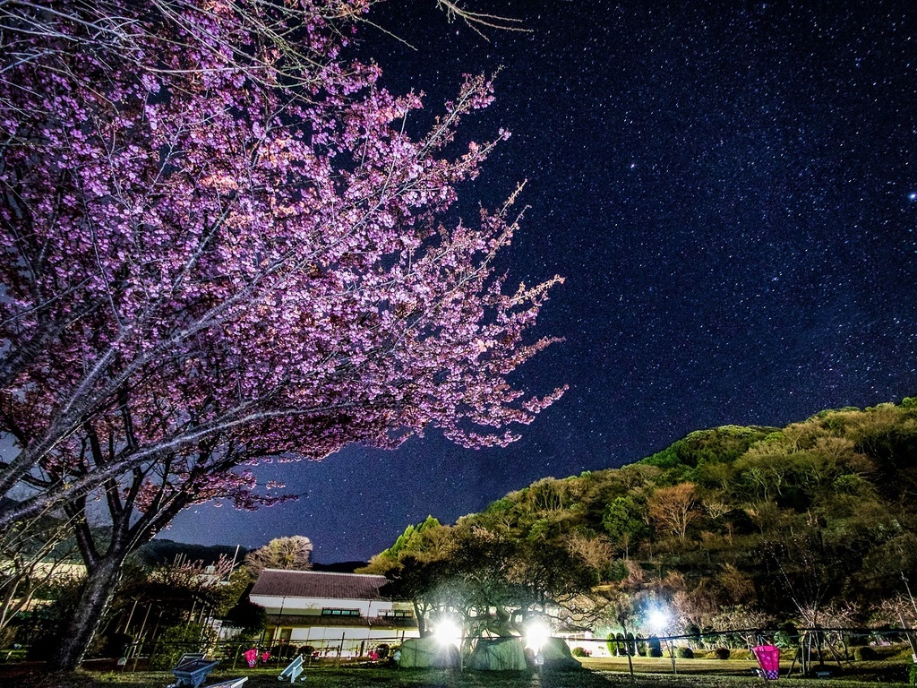【例年1月中旬〜2月上旬】日本一!の早咲桜・土肥桜で春先取り♪ ※写真は『土肥金山』より
