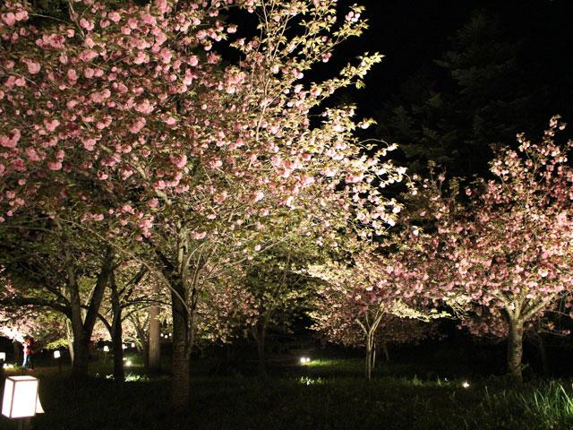 通り抜けの桜ライトアップ(4月中旬〜下旬)車約15分