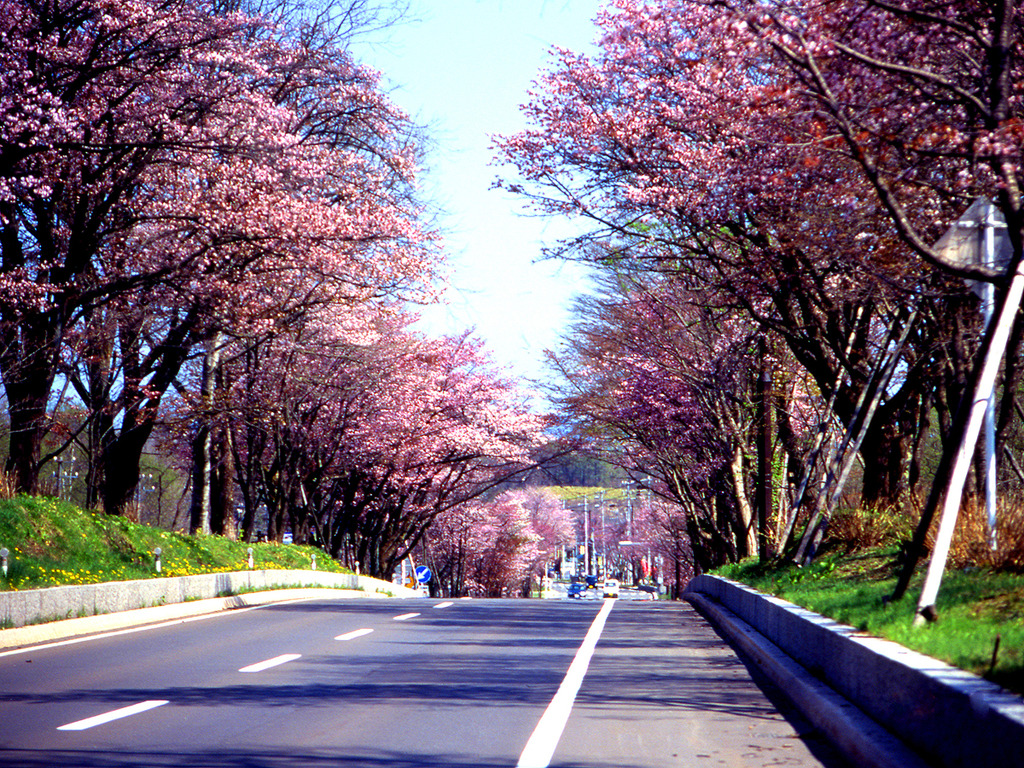 【桜のトンネル】登別の桜の見ごろは例年5月中旬から下旬。約2000本の桜が咲き誇る桜並木は必見です。
