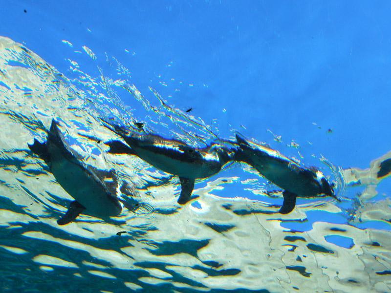 【旭山動物園】水の中を飛ぶように泳ぐペンギン。冬はペンギンのお散歩が大人気♪