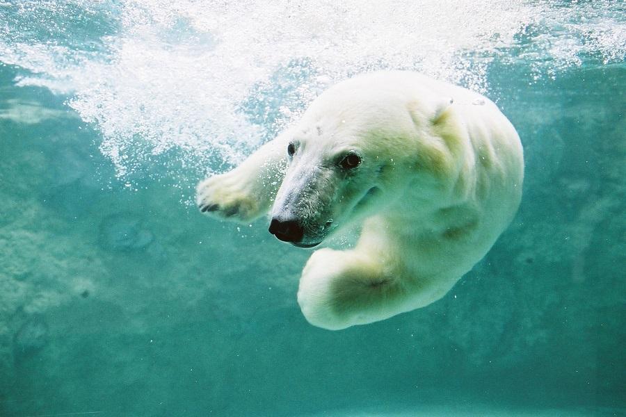 【旭山動物園】人気のホッキョクグマを見に行こう!ガラス越しに迫力のダイブをご覧いただけます