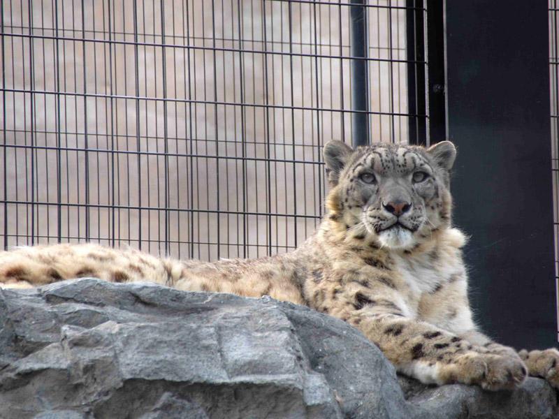 【旭山動物園】「もうじゅう館」のユキヒョウ。凛々しい表情が見られます