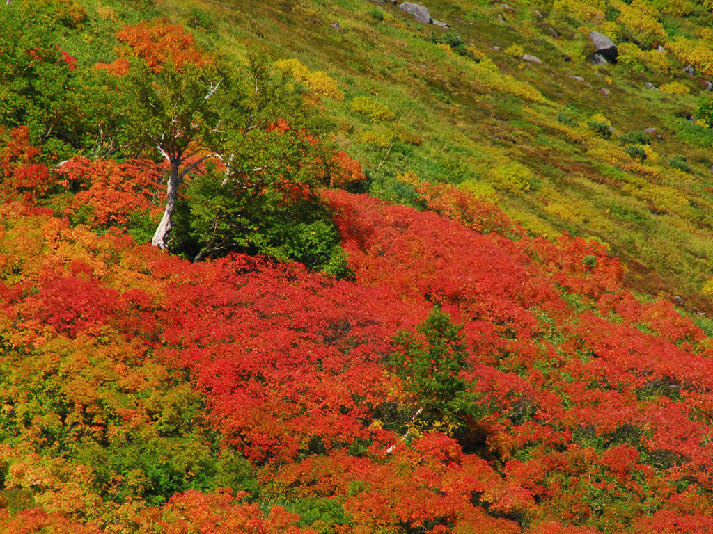 日本で最も早い紅葉が始まる黒岳。9月中旬になると、絨毯に覆われたように色鮮やかに染まります