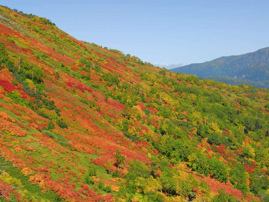 日本で最も早い紅葉が始まる黒岳。9月中旬になると色鮮やかに染まります