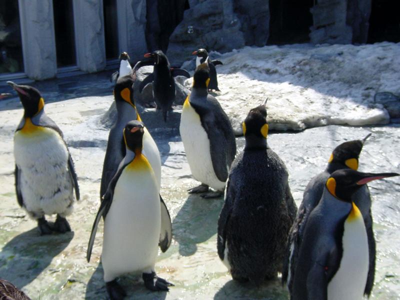 旭山動物園の人気者ペンギンに会いに行こう!