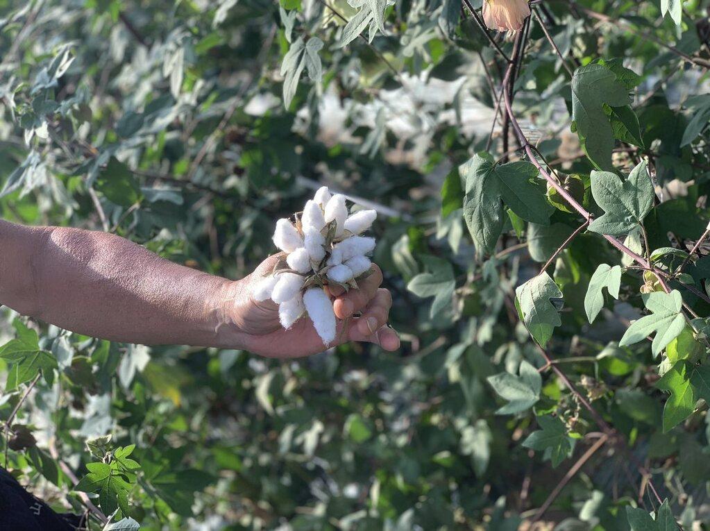 コットン収穫体験