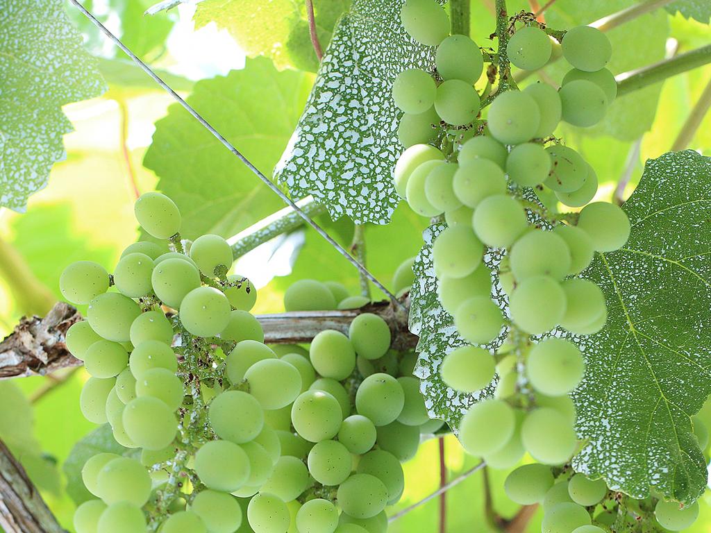 若摘みのぶどうで作った「ヴィーニョ・ヴェルデ」はみずみずしい果実そのままの美味しさが魅力です。※画像はイメージ
