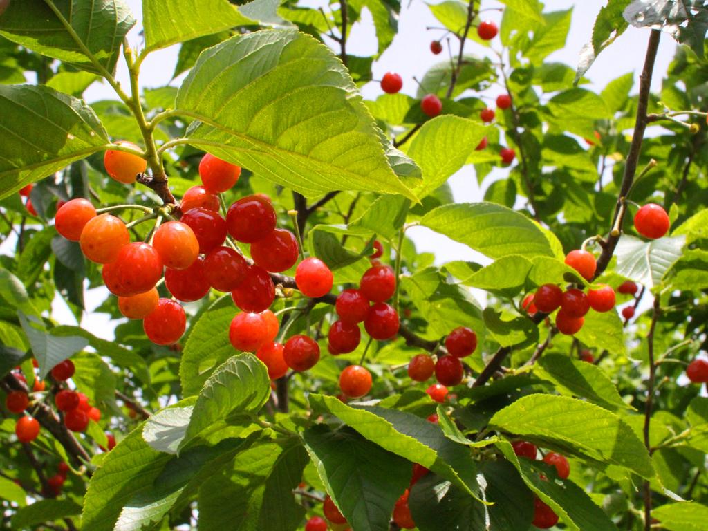 【果物狩り】みずみずしい夏の果物さくらんぼ狩り体験へ!(画像はイメージ)
