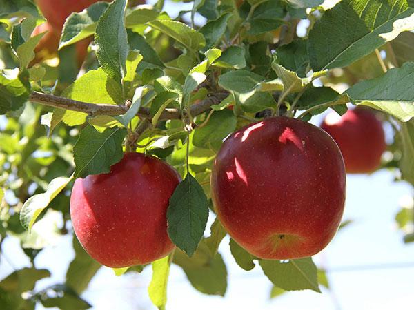 【フルーツ狩り】採れたては一味違う♪リンゴは9月中旬〜11月上旬頃まで