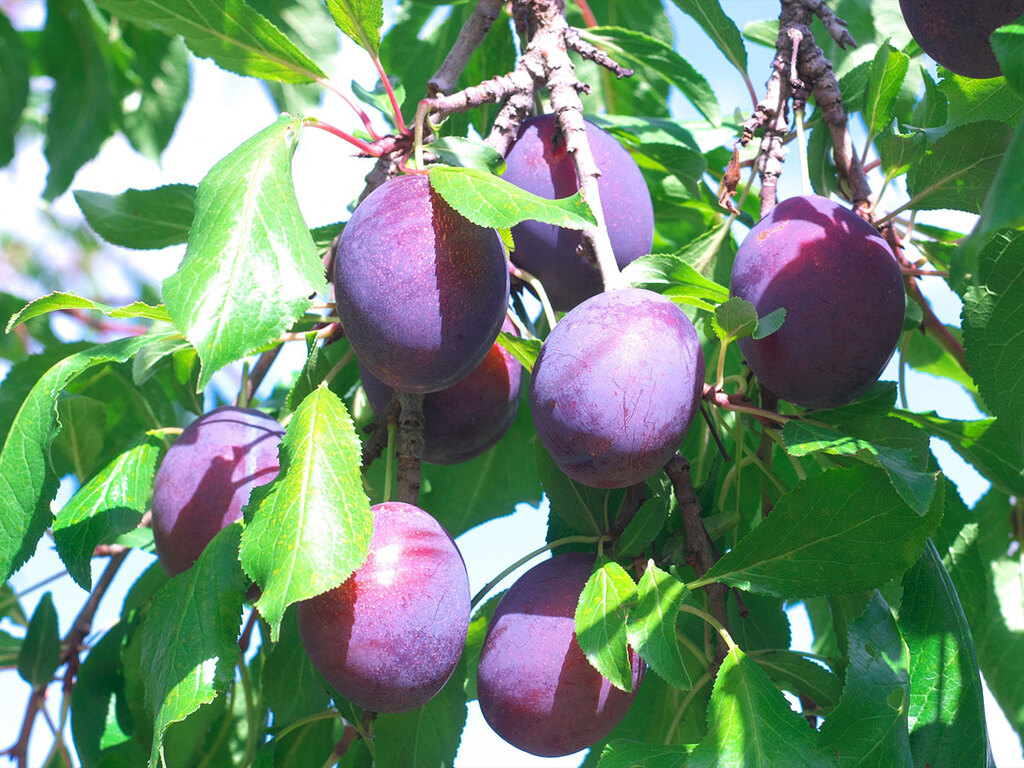 【フルーツ狩り】もぎたてをパクッ♪プルーンとぶどうは10月上旬頃まで