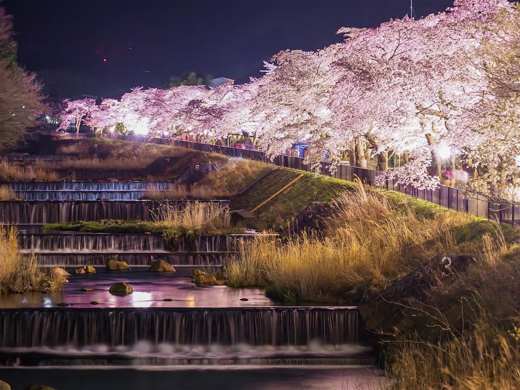 宮城野の桜ライトアップ