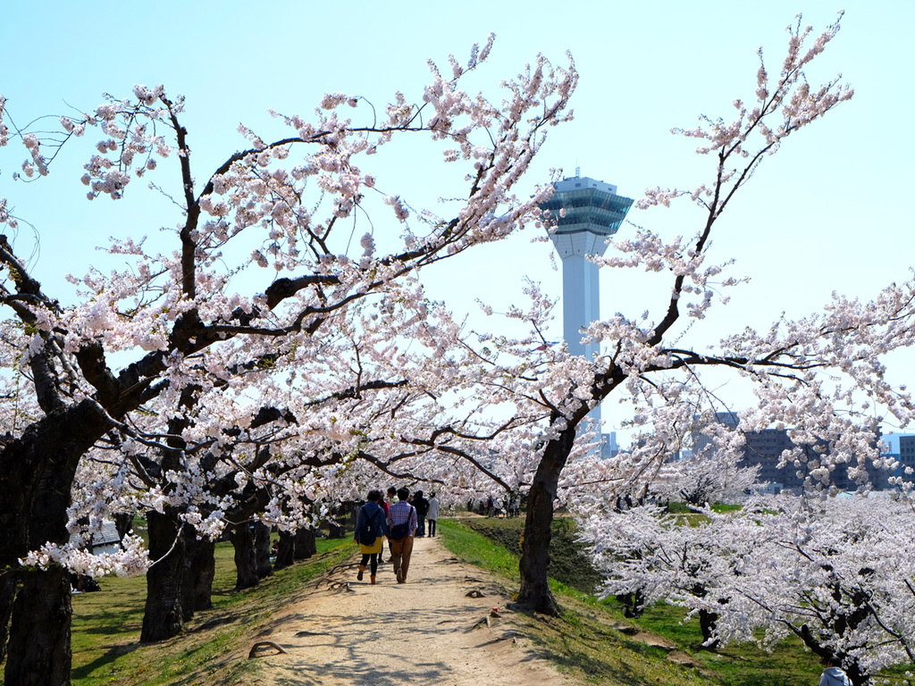 【春の五稜郭公園】桜の時期は絶好のお花見スポットに。(例年5月上旬〜中旬)