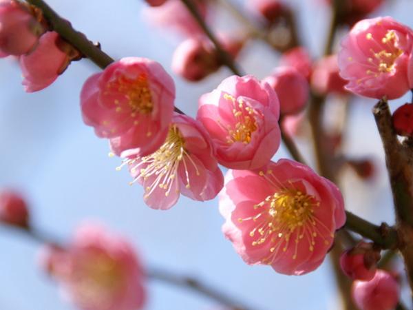 修善寺梅林で「梅まつり」が開催されます。