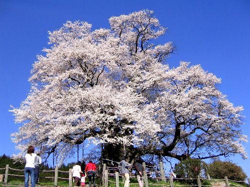 醍醐桜(落合)