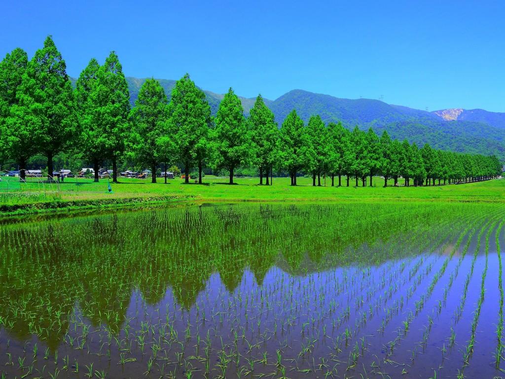 メタセコイア並木と赤坂山