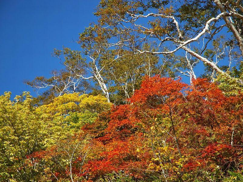 ニセコの紅葉は、例年9月下旬から色付き始め、10月初旬から10月中旬に見頃を迎えます。