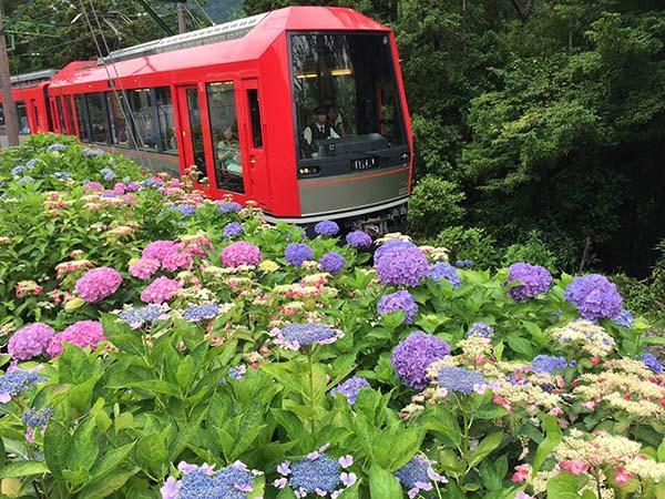 紫陽花とあじさい電車(箱根登山電車 アレグラ号)