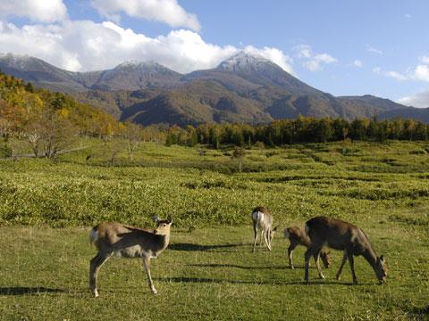 エゾシカと羅臼岳