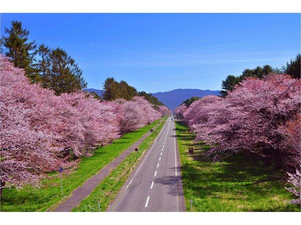 静内の二十間道路の桜並木♪5月上旬が見頃です♪