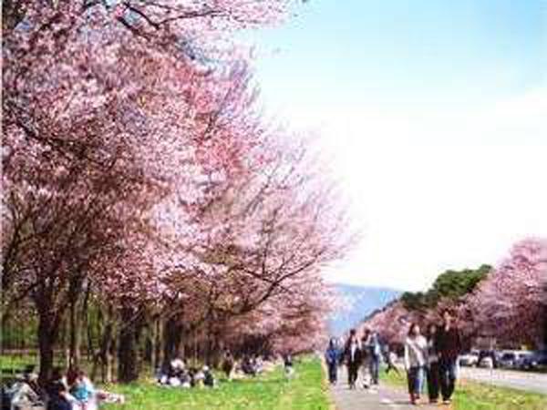 幅36m直線約7kmのビックスケールを誇る桜並木。