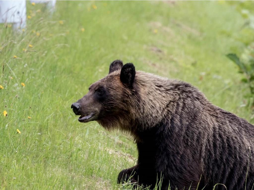 北海道といえば熊牧場!大人のヒグマは大迫力!