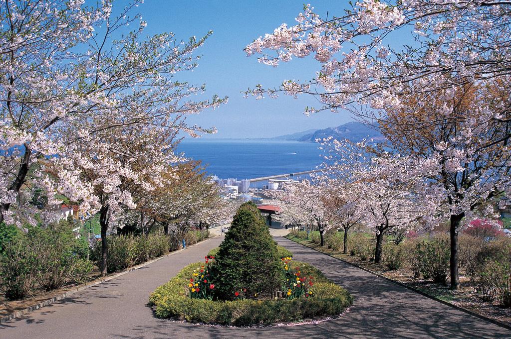 桜(手宮公園)