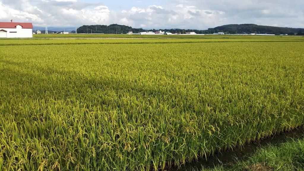 東神楽町の水田