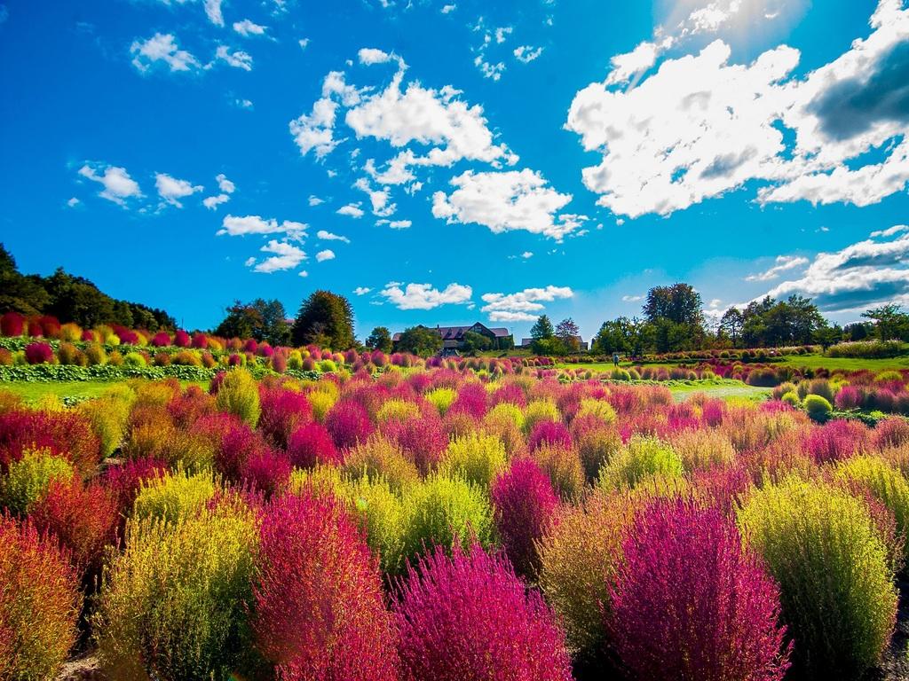 夏にもこもこした草姿が愛らしく、秋に美しい赤に染まっていくゆにガーデンの「コキア」