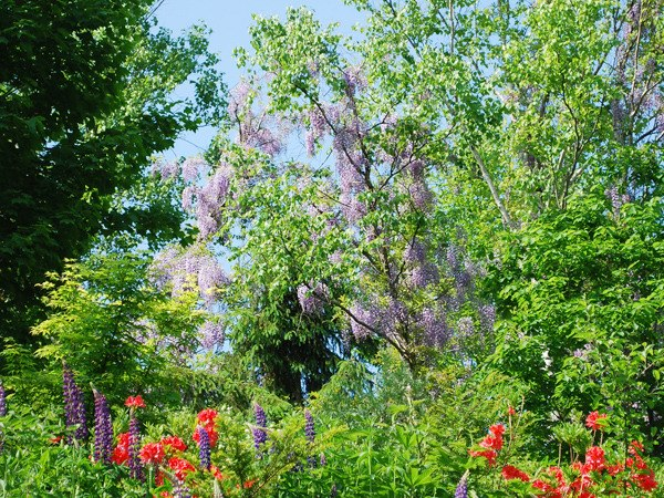 【陽殖園】ルピナスやフジが咲く6月