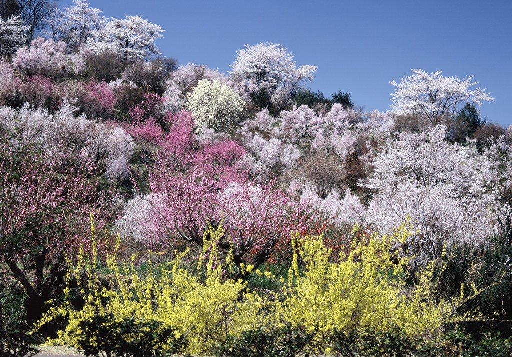 桃源郷のような花見山