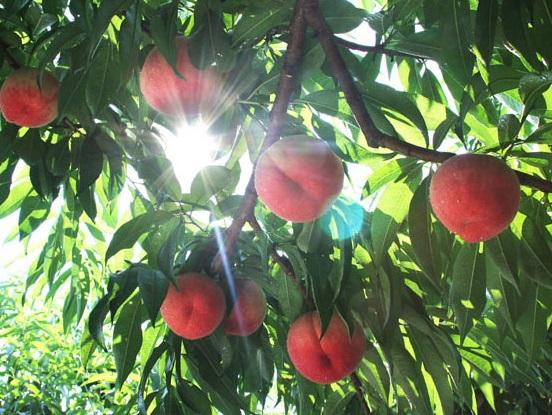 桃狩りの最盛期です