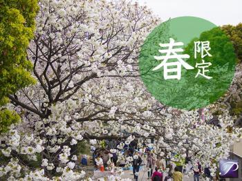 【春限定】ビールとおつまみでお花見気分♪~福岡の桜名所情報付き~