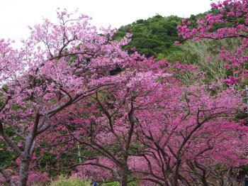 ★1-2月冬の沖縄は花見の季節★日本一早い桜に、真冬に咲くコスモスやヒマワリを見に行こう♪海側客室・朝食付
