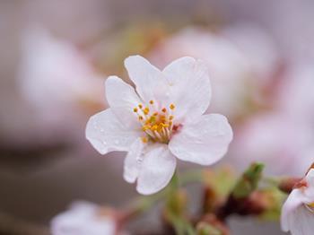 【春到来】2月は河津桜・3月はソメイヨシノ・相模湾の絶景!!夜桜鑑賞も楽しめるプライベートお花見