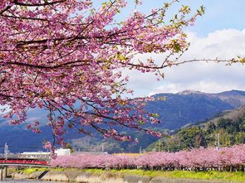 【人気のシーズン☆早春の伊豆】早咲きの河津桜を愛でる一足先にお花見旅