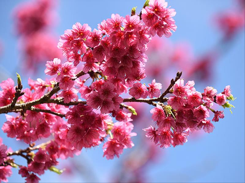 <Go Toトラベルキャンペーン割引対象※一部日程「割引」対象外>【2021お年玉】~嬉しい初売り~家族で冬の桜、春のユリ、本部(もとぶ)町の体験を(朝食付き)