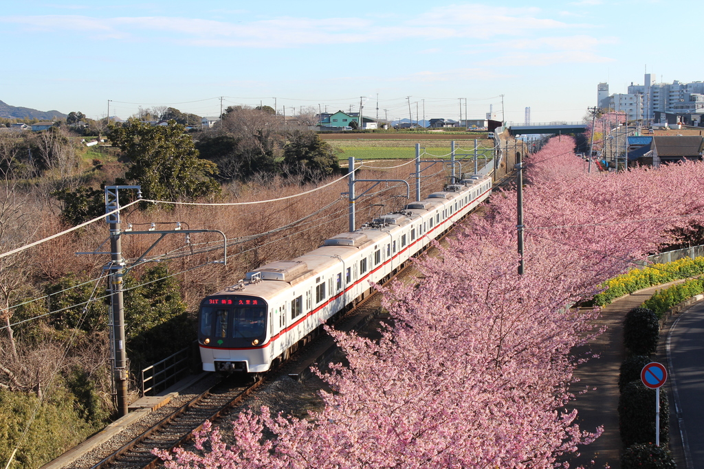 三浦海岸から三崎口までの京急沿線に咲き誇る河津桜(2017年2月撮影)