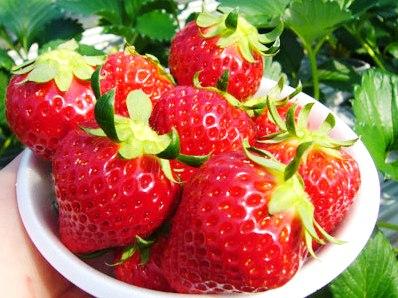 採れたてならではの新鮮イチゴをたくさんどうぞ!