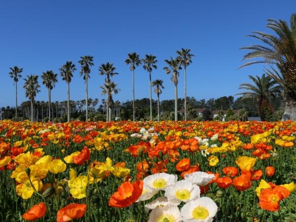 7,500�uの巨大なお花畑一面に咲くポピー♪
