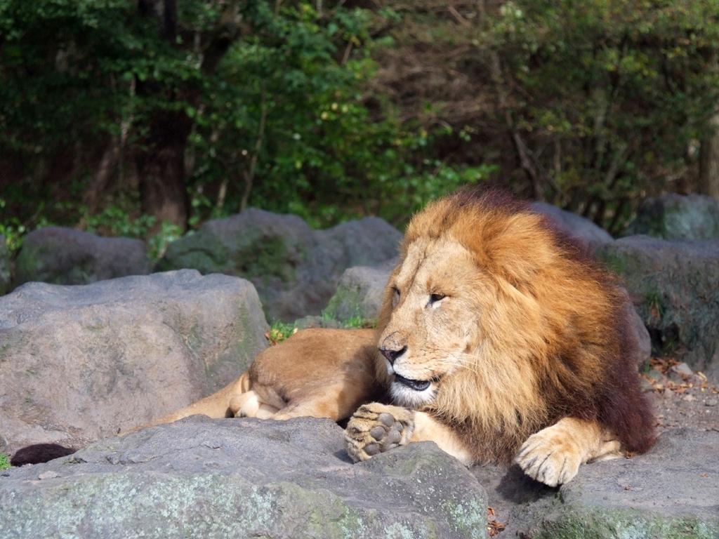 目はブルー!全身白毛のホワイトライオン!