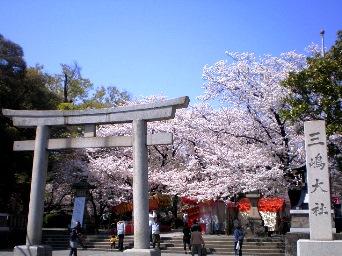 三嶋大社の桜(春季一例)