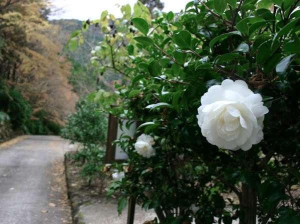 冬には約100種の椿が次々と花をさかせる散策路