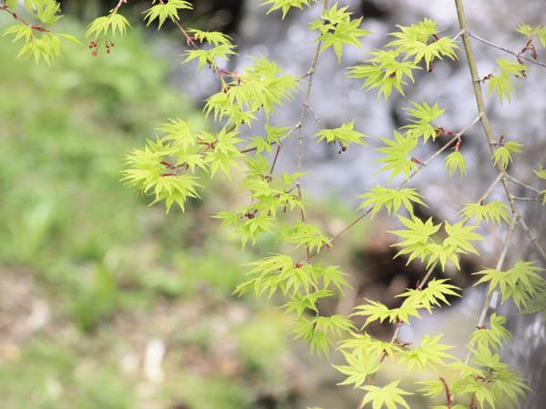 春/桜が終わると、散策路は若々しい新緑に包まれます。