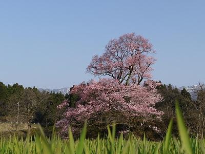 桜百選にも選ばれた「向野エドヒガン桜」