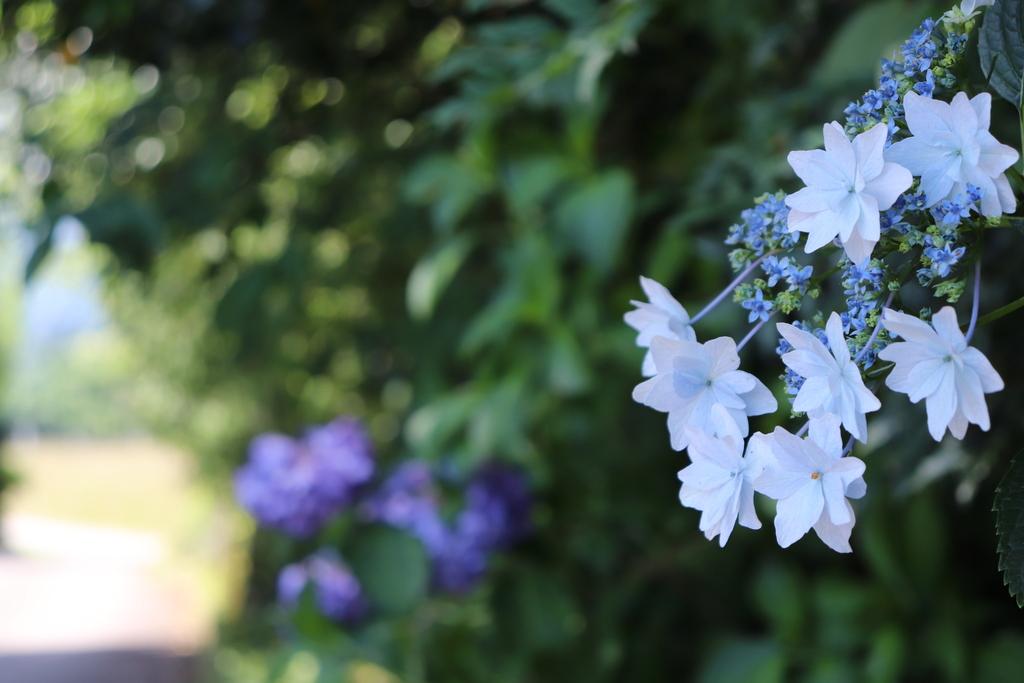 宿の周りに咲く紫陽花