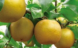 「豊水」「あきづき」の梨狩り体験