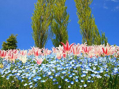 淡路島明石海峡公園の花畑